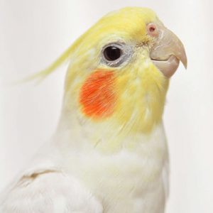 Cockatiel-los-res1