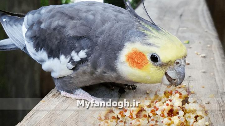 کینوا برای طوطی سانان