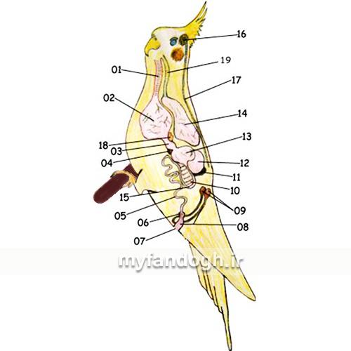 آناتومی بدن عروس هلندی یا کوکاتیل